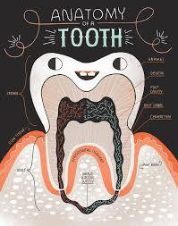 anatomija-zuba